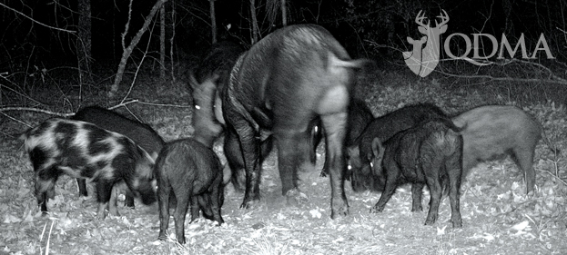feral hogs reproduction qdma